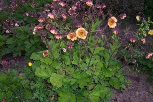 Geum Copper Pennies