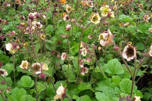 Geum Cumbrian Cream