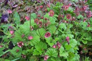 Geum Eden Valley Elf