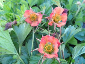 Geum Firefinch