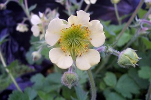 Geum Moonlight Seranade