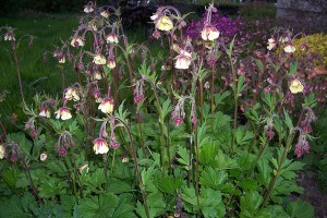 Geum Prarie Dancer