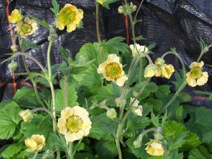 Geum Stacey's Sunrise