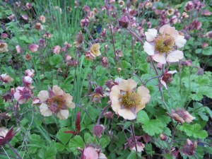 Geum Cumbrian Candy