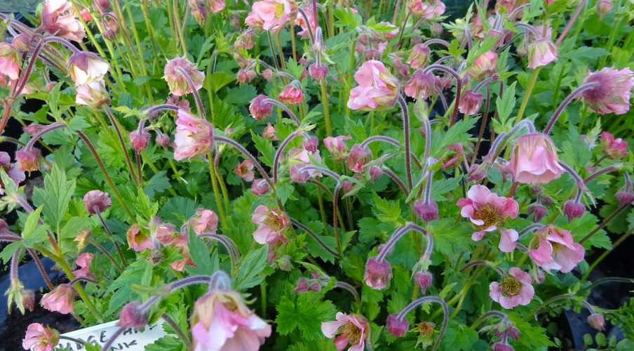 Geum Nudge and a Wink